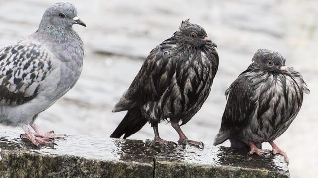 Streitfall Taube: verhasst, vergöttert– undvöllig unterschätzt