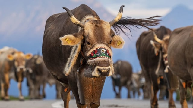 Immer mehr Kühe tragen GPS statt Glocke