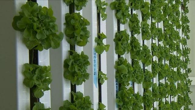 Komplett nachhaltig ist die vertikale Landwirtschaft nicht