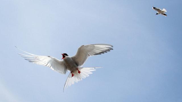Die Vielfliegerin aus dem Vogelreich