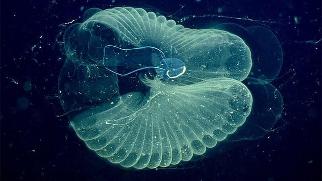 Forscher finden Mikroplastik in Tiefsee-Lebewesen