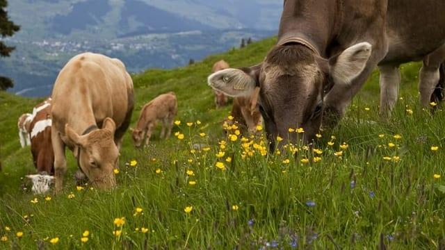 Schmeckt man der Milch an, was die Kuh frisst?