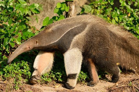 Zum Welttierschutztag am 4. Oktober: Vorfahrt für den Großen Ameisenbären